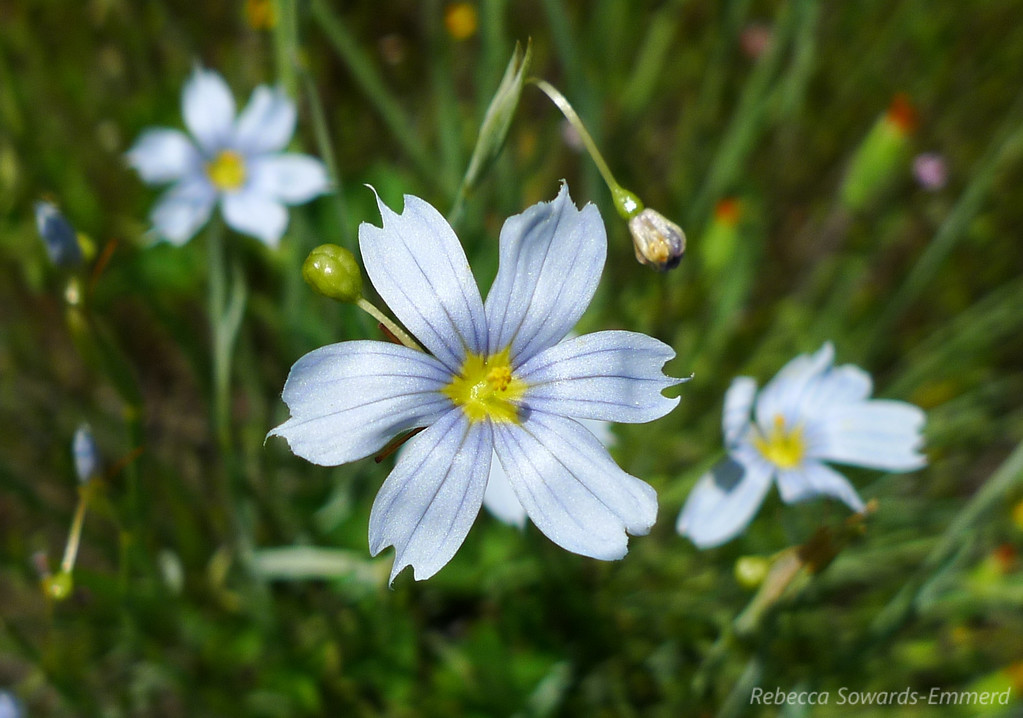 A nearly white blue eyed grass