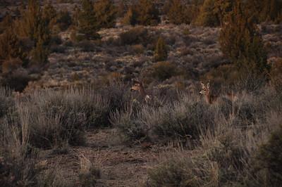 Deers!  They were always in the campsite.