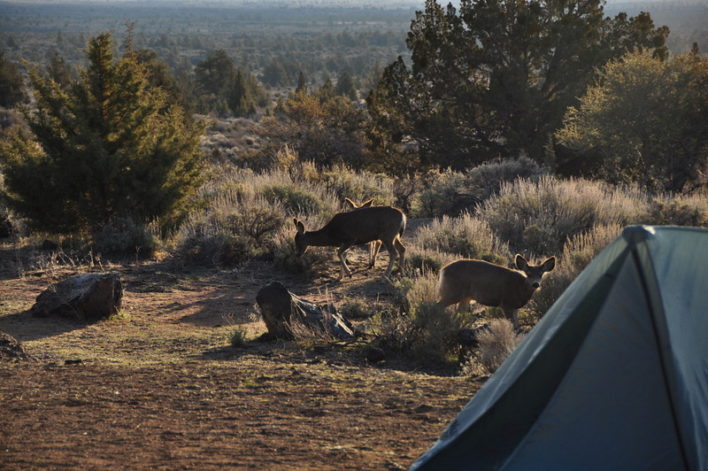 Morning deer<br /> <br /> The little one looked up just as I took this shot due to a sneeze from Greg in his tent (the one in the foreground).