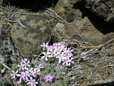 Phlox - a sign of spring in the mountains. Yee haw!