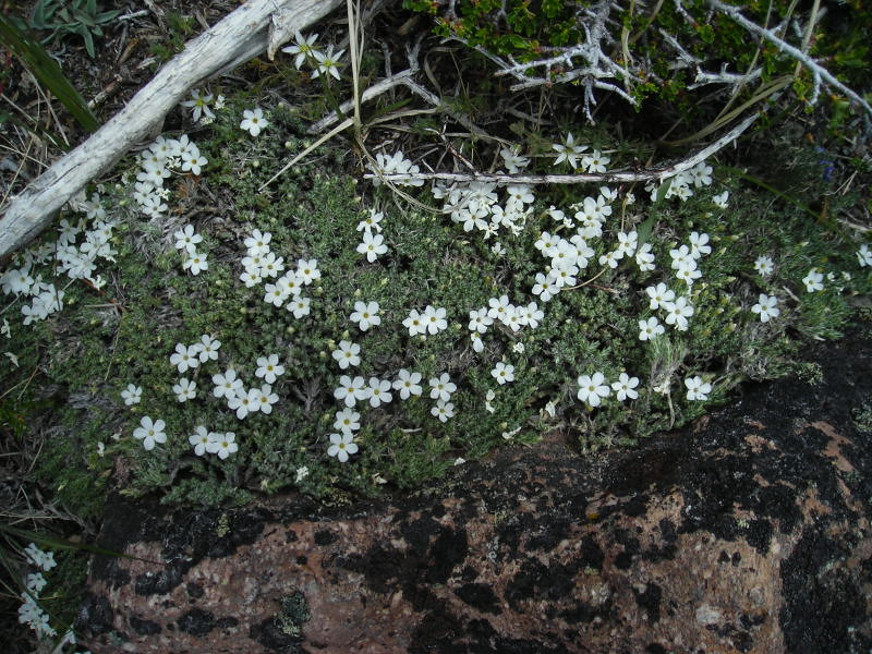 white patchy flowers near summit - some variety of phlox