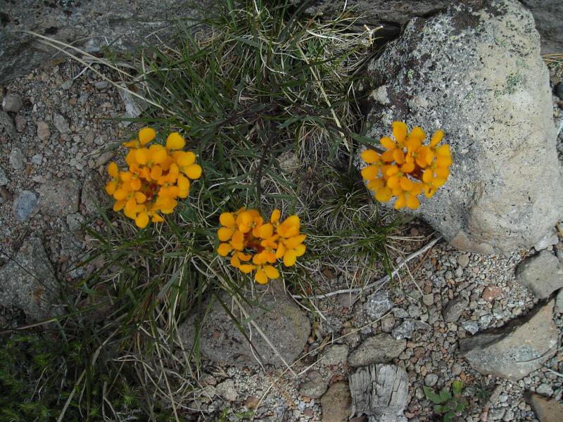 Name: Sierra Wallflower (Erysimum capitatum)<br /> Location: Loomis Peak, Lassen National Forest<br /> Date: July 4, 2006