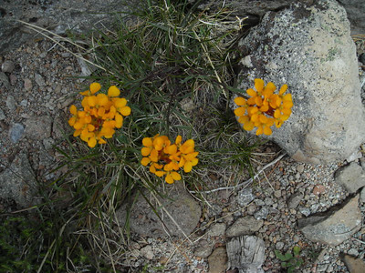 Name: Sierra Wallflower (Erysimum capitatum) Location: Loomis Peak, Lassen National Forest Date: July 4, 2006