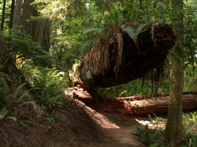 Boyscout Trail in Redwood National Park