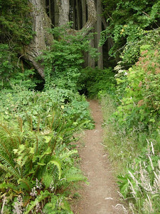 The trail heads back into a redwood grove
