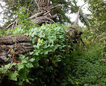 Vine and fallen redwood