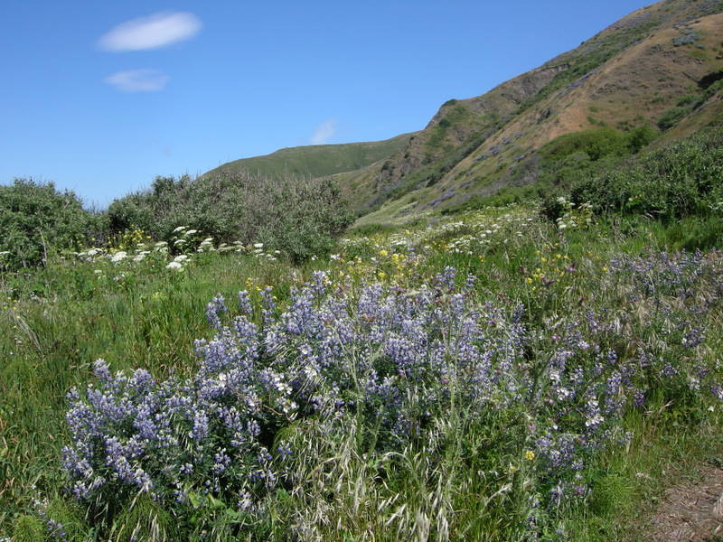 Lupine and other wildflowers