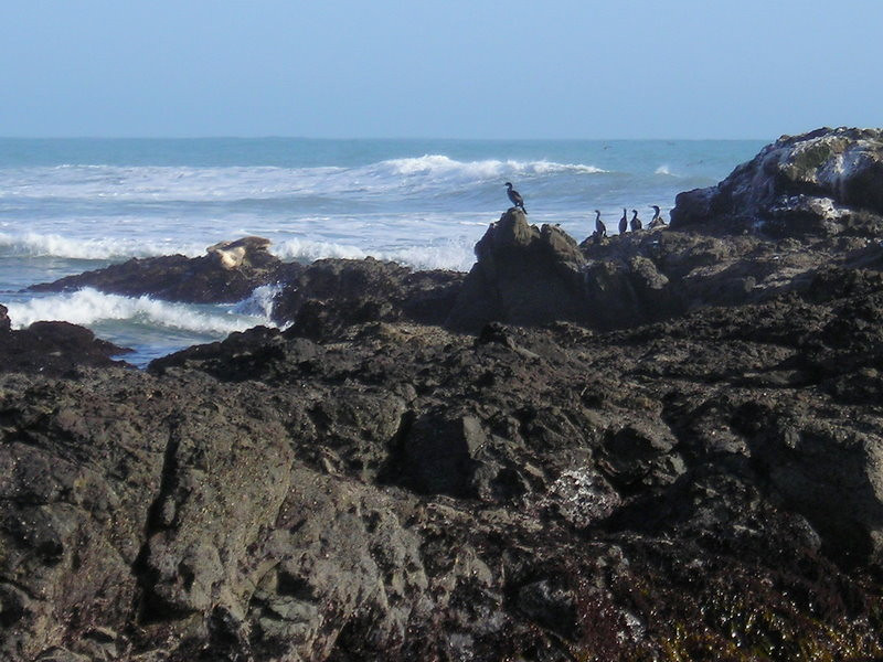 Cormorants and a Harbor Seal<br /> <br /> At shelter cove tidepools