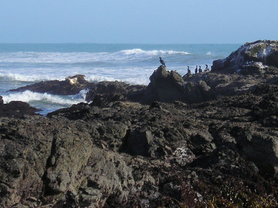 Cormorants and a Harbor Seal  At shelter cove tidepools