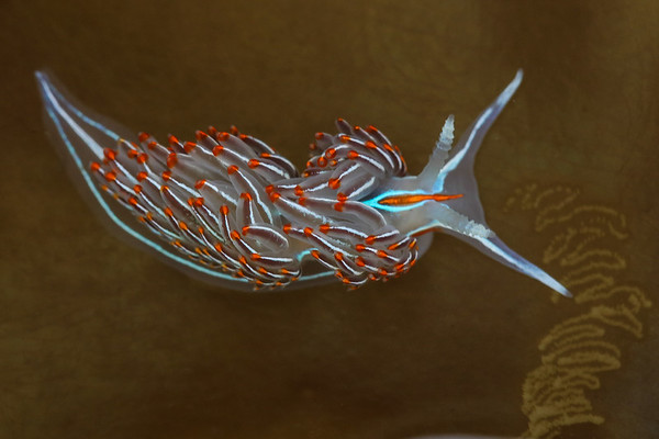 Opalescent Nudibranch (Hermissenda Crassicornis)
