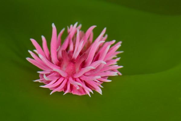 Okenia rosacea (Hopkinsia rosacea) Hopkins Rose