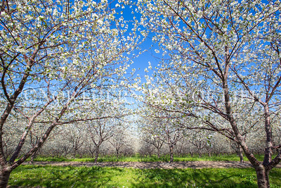 Cherry Orchard in Bloom: Lake Leelanau, Michigan