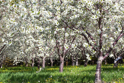Cherry orchard with blossoms; Leelanau peninsula