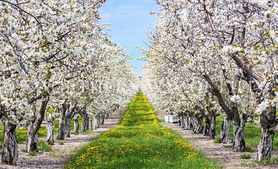 Cherry orchard in bloom: Lake Leelanau, Michigan