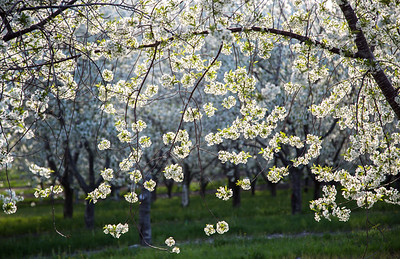 Balaton Cherry Trees in Bloom: Lake Leelanau, Michigan