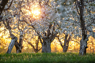 Cherry Orchard at sunset; Lake Leelanau, Michigan