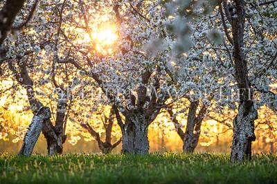 Cherry Orchard at sunset: Lake Leelanau, Michigan