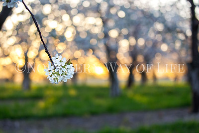Cherry blossom at sunset: Lake Leelanau, Michigan