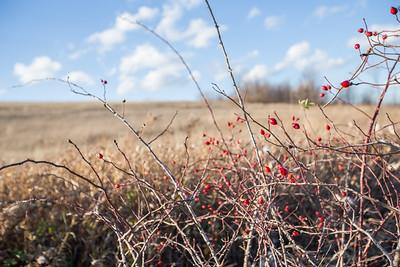 Winter berries: Lake Leelanau, Michigan