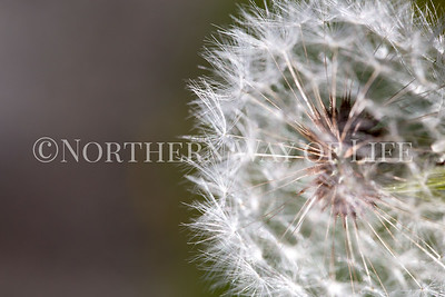 Dandelion: Suttons Bay, Michigan