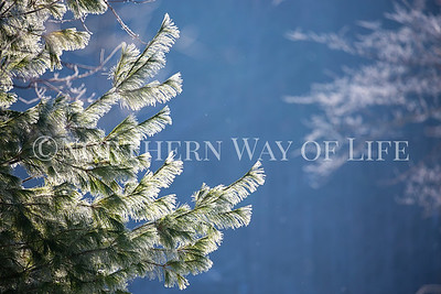 Frosty evergreens: Suttons Bay, Michigan