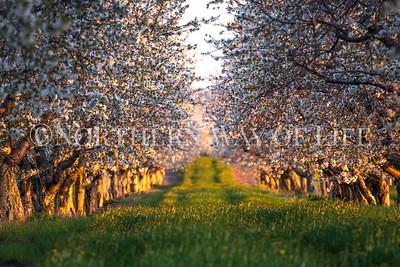 Sunset cherry blossoms: Lake Leelanau, Michigan