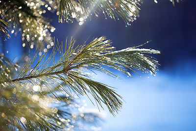 Sparkly Evergreens: Suttons Bay, Michigan