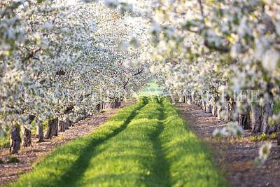 Avenue of cherry blossoms: Lake Leelanau, Michigan