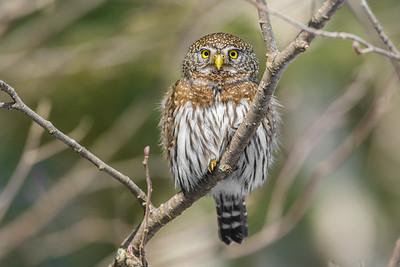 OWL_7587