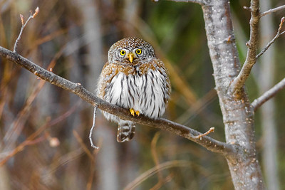 OWL_8041
