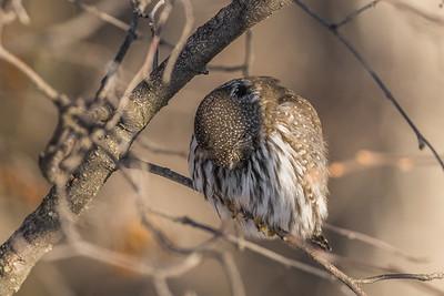 OWL_6271