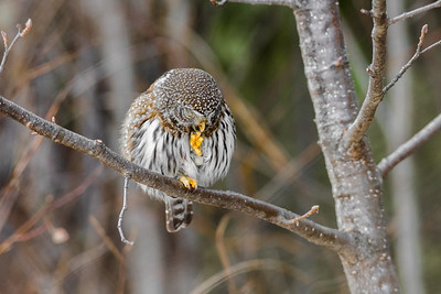 OWL_8035