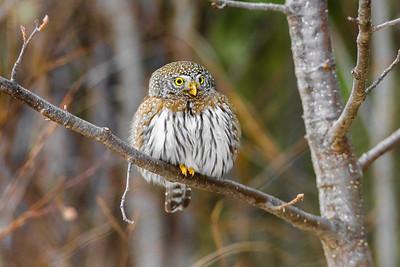 OWL_8038