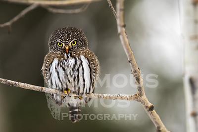 Owl-Northern Pygmy Owl