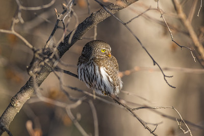 OWL_6268