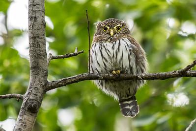 OWL_4683