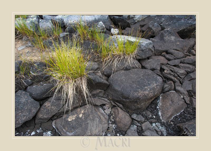 sedge in dry rock pond