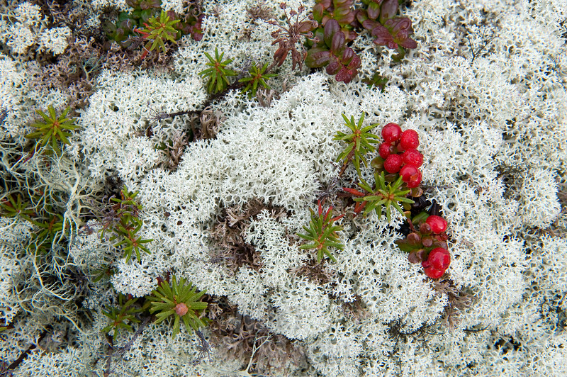 Close-up tundra, Lingonberry.
