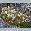cranberries and caribou moss on precambrian rock