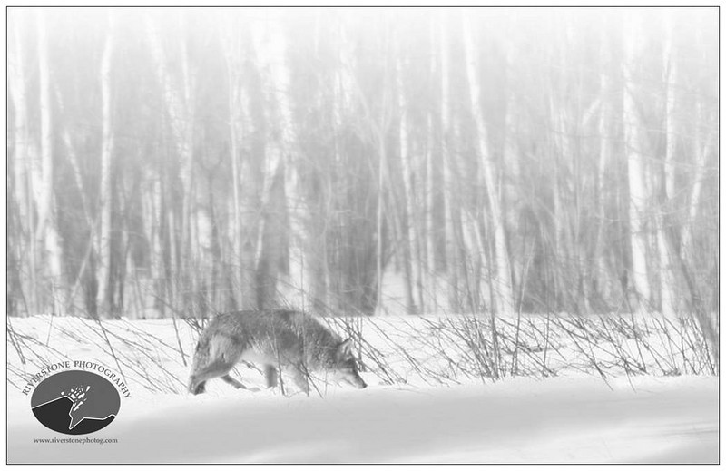 Winter Wolf Inside