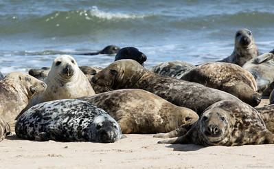 Grey seals lying on Bamburgh beach