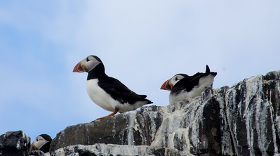 Puffins at the Farne Islands