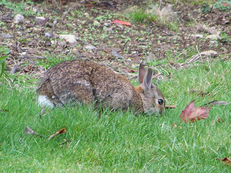 A number of bunnies were hopping around the gardens.<br /> [Whidbey Island - Meerkerk Rhododendron Gardens]