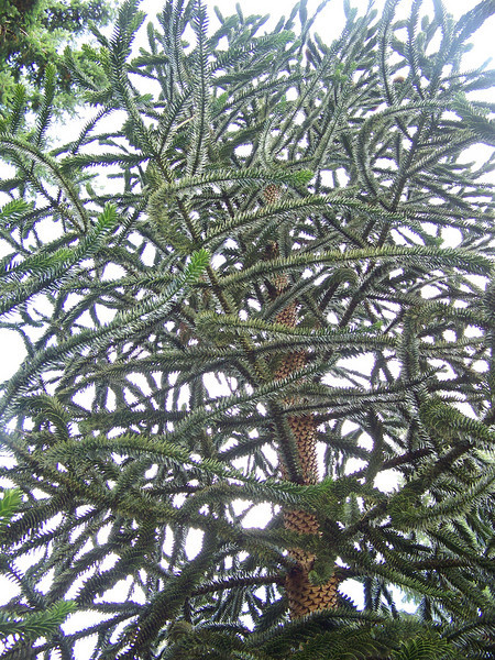 A monkey puzzle tree.<br /> [Whidbey Island - Meerkerk Rhododendron Gardens]