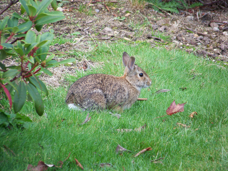 Another bunny happliy hopping around the gardens.<br /> [Whidbey Island - Meerkerk Rhododendron Gardens]