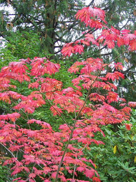 A small maple tree provided some fall color.<br /> [Whidbey Island - Meerkerk Rhododendron Gardens]