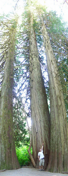 Now we're at the big trees!  Josh gives you some scale, and you can't see the very top of the trees in this panoramic shot!<br /> [Mount Rainier - Grove of the Patriarchs]