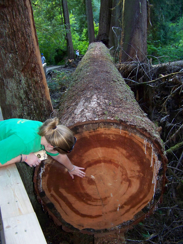 Jenna examines the rings in another fallen tree.  The park service only cuts the trees like this if they fall across the trail.  Otherwise, the logs stay where they fall to decay and become nurse logs for the next generation of forest growth.<br /> [Mount Rainier - Grove of the Patriarchs]