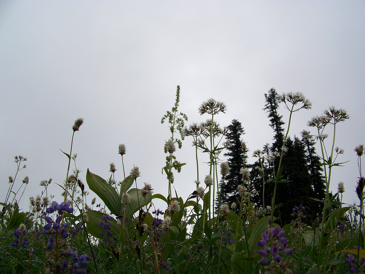 I put the camera down low to capture some of the taller plants against the gray, cloudy sky.<br /> [Mount Rainier - wildflowers near Tipsoo Lake]