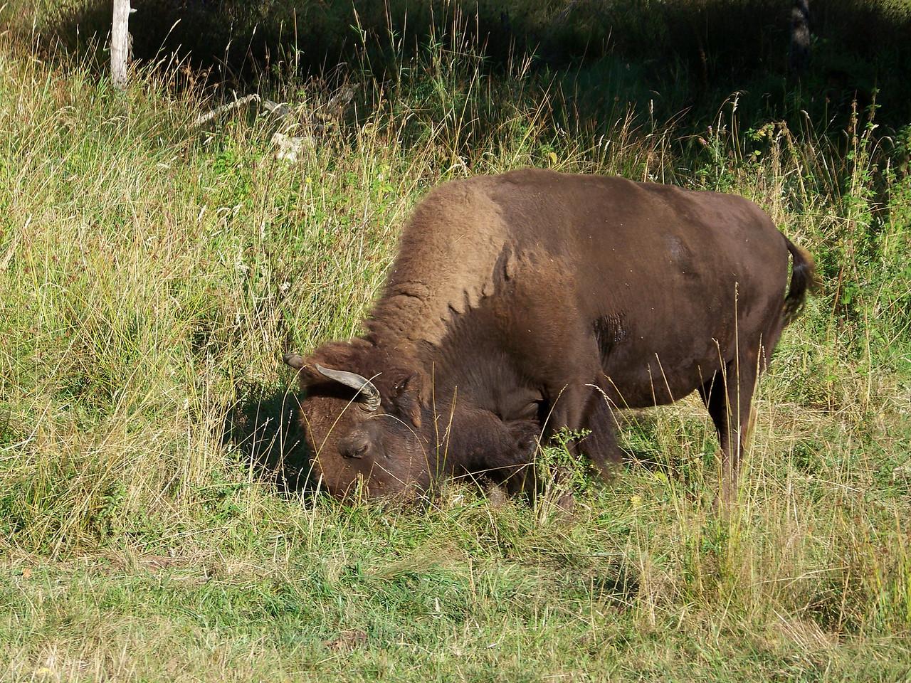 Buffalo.<br /> [Northwest Trek]